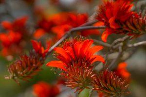 石垣島のデイゴの花